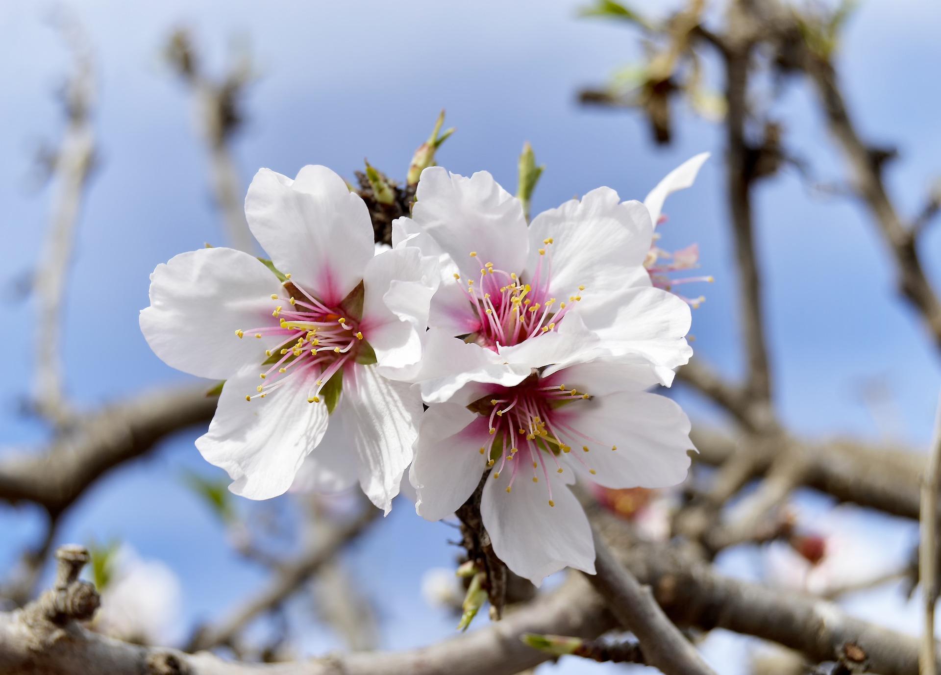 /Pulseem/ClientImages/2888///almond-flowers-3958980_1920.jpg